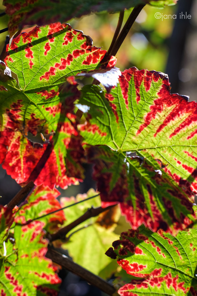 Herbst-Weinberge an der Ahr